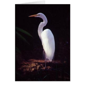 Cartão Grande Egret branco