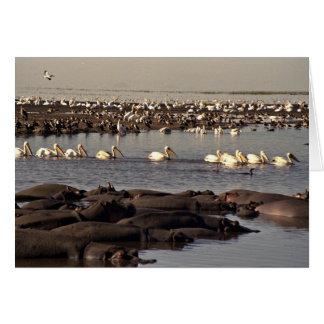 Cartão Hipopótamos e pelicanos