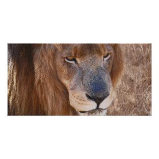 Cartão História dos leões em África do Sul