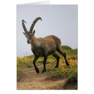 Cartão Íbex selvagem alpino, da cabra, ou steinbock