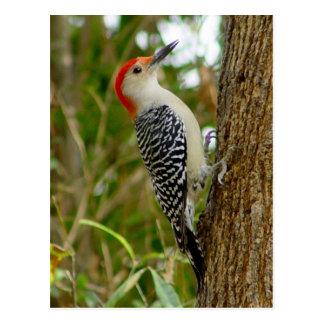 Cartão inchado vermelho do pássaro do pica-pau