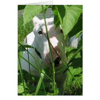 Cartão Inglês bull terrier que espreita através das