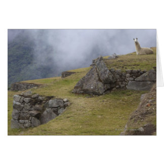 Cartão Lama (glama da Lama) entre os terraços do Inca em