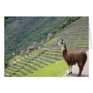 Cartão lama peruano