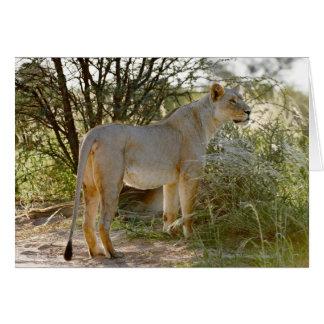 Cartão leão da leoa, Panthera leo, Kgalagadi