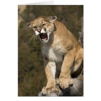Cartão Leão do puma ou de montanha, concolor do puma,