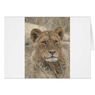 Cartão Leão no parque nacional de Kruger