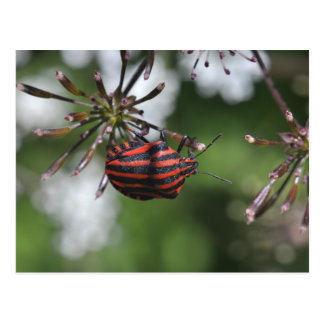 Cartão listrado de Shieldbug