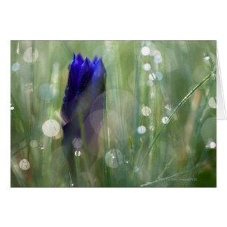 Cartão macro da genciana (Gentianella) com foco macio