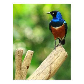 Cartão magnífico de Starling