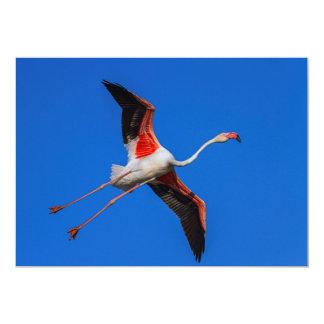 Cartão Maior flamingo, roseus do phoenicopterus