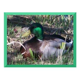 Cartão masculino do pato do pato selvagem