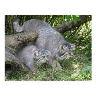Cartão - o gato de Pallas