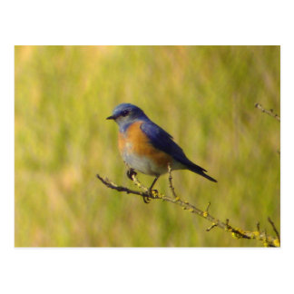 Cartão ocidental do Bluebird