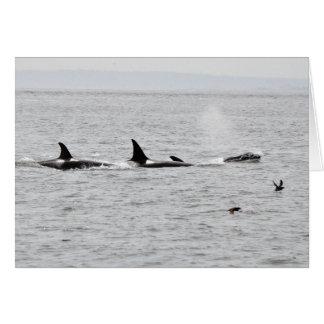 Cartão Orcas no selvagem