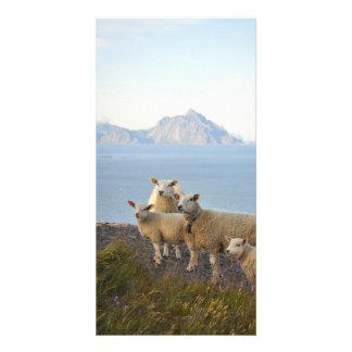 Cartão Os carneiros e os cordeiros na montanha cobrem em