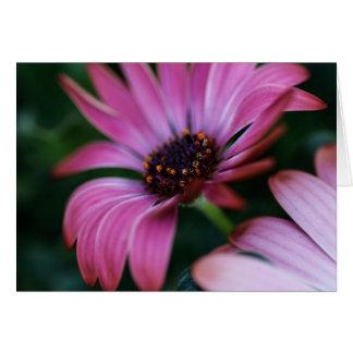 Cartão Osteospermum cor-de-rosa