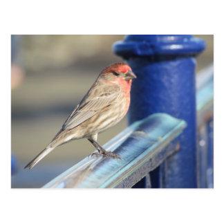 Cartão - pardal vermelho na cerca azul cartão postal