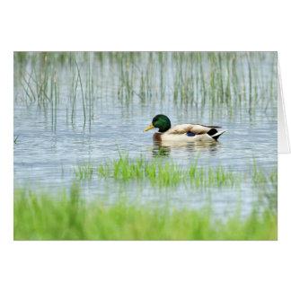 Cartão Pato masculino do pato selvagem que flutua na água