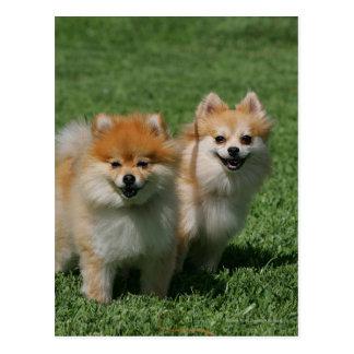 Cartão Postal 2 Pomeranians que olha a câmera