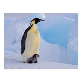 Cartão Postal A Antártica, pinguim de imperador (Aptenodytes