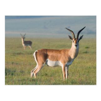 Cartão Postal A gazela de Grant, cratera de Ngorongoro,