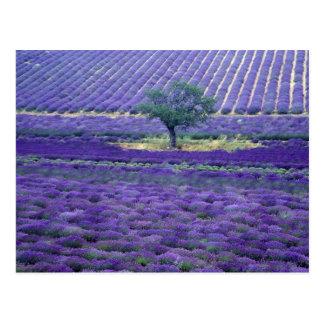 Cartão Postal A lavanda coloca, Vence, Provence, France