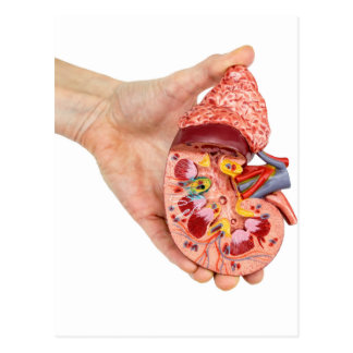 Cartão Postal A mão fêmea guardara o modelo do rim humano