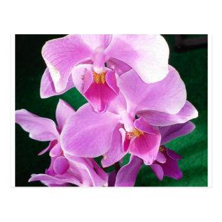 Cartão Postal A orquídea floresce close up no rosa