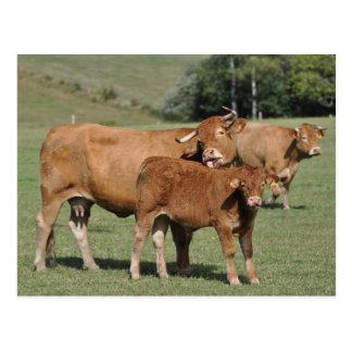 Cartão Postal A vaca de Limousin que lambe o é vitela