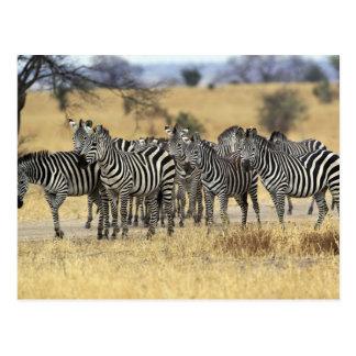 Cartão Postal A zebra de Burchell, burchellii do Equus,