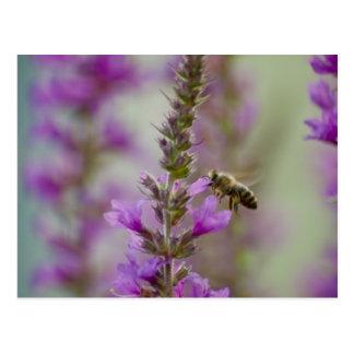 Cartão Postal Abelha do mel