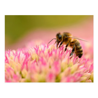Cartão Postal Abelha do mel que alimenta na flor do sedum