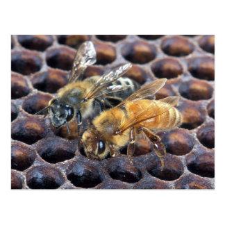 Cartão Postal Abelhas do favo de mel