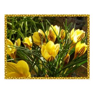 Cartão Postal Açafrões alpinos