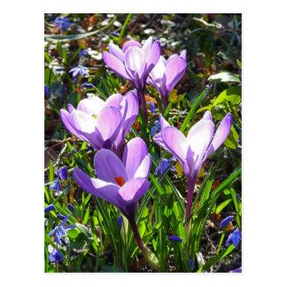 Cartão Postal Açafrões violetas 02,0, cumprimentos do primavera