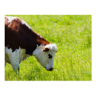 Cartão Postal Acobarde a pastagem em um campo, Loire Valley,