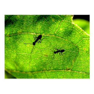 Cartão Postal Acre verde das formigas