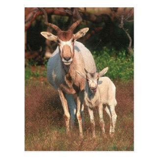 Cartão Postal Addax/antílope branco/antílope de Screwhorne