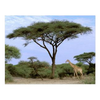 Cartão Postal África, Botswana, delta de Okavango. Do sul