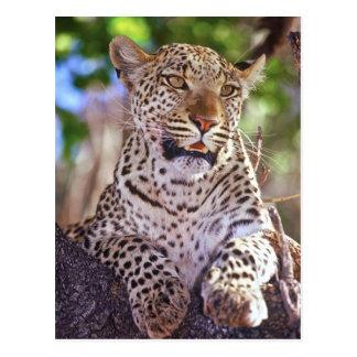 Cartão Postal África, Botswana, delta de Okvango, leopardo