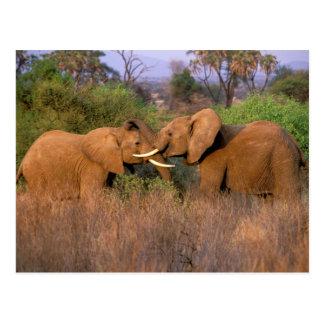 Cartão Postal África, Kenya, Samburu. Desafio do elefante
