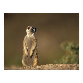 Cartão Postal África, Namíbia, Keetmanshoop, Meerkat (Suricate