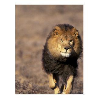 Cartão Postal África. Panthera africano masculino leo do leão)