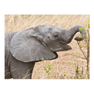 Cartão Postal África. Tanzânia. Elefante novo em Tarangire
