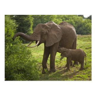 Cartão Postal África. Tanzânia. Mãe e vitela do elefante em 2