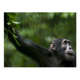 Cartão Postal África, Uganda, reserva da floresta de Kibale,
