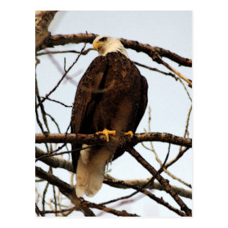 Cartão Postal Aguarela da águia americana