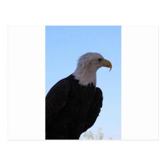Cartão Postal Águia americana
