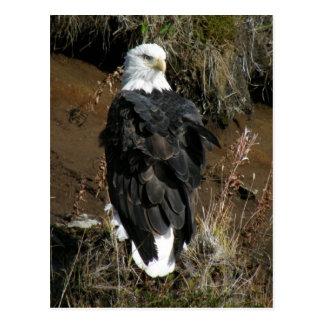 Cartão Postal Águia americana adulta na montanha do Ballyhoo